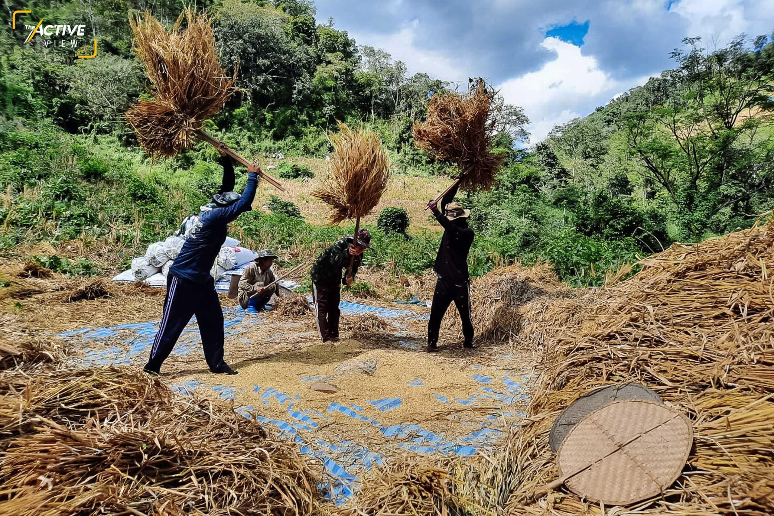 """""""ตีข้าวไร่ """" สองมือจับไม้ตีข้าวให้มั่น ทุ่มแรงฟาดลงบนรางตีข้าว ให้เมล็ดข้าวหลุดร่วงจากต้นให้มากที่สุด วิถีภูมิปัญหาที่ยังถูกสานต่อ ในยุคที่การทำเกษตรรูปแบบอื่น ลงทุนไปใช้เทคโนโลยีกันหมดแล้ว"""